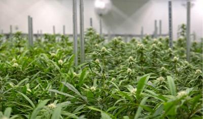 marijuana crops in greenhouse