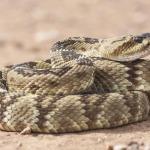rattlesnake curled up on dirt